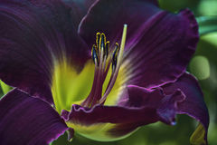 Liljamörkerlilor Arkivbilder