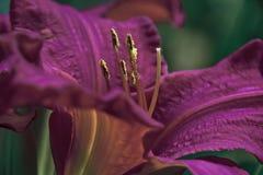 Liljamörkerlilor Royaltyfri Bild