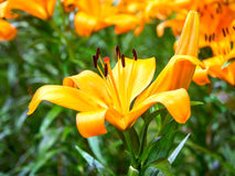 Liljan är den stora blomman Arkivbild