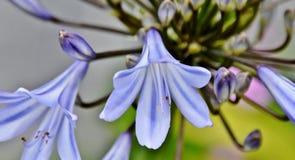 Liljan av Nilen Royaltyfri Fotografi