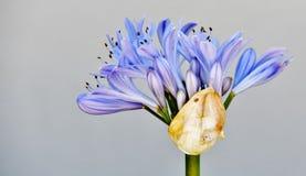 Liljan av Nilen Royaltyfria Foton