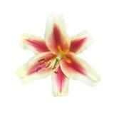 Liljan blommar på en vit Arkivfoto