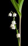 liljan för 11 blommor kan Fotografering för Bildbyråer