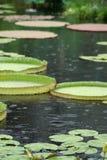 liljan pads regn royaltyfria bilder