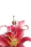 liljar Royaltyfria Bilder