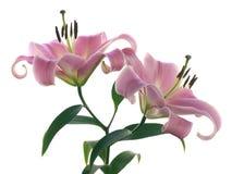 liljar pink två arkivfoto
