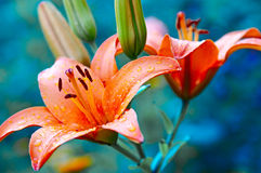 liljar steg Royaltyfria Foton