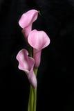 liljar tre för svart calla Royaltyfria Bilder
