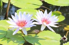 liljar water white Royaltyfria Foton