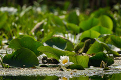 liljar water white Arkivbild