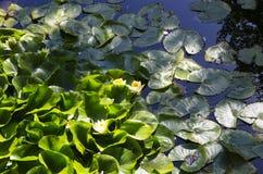 liljar water yellow royaltyfri bild