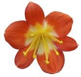 Liljarosa färger blommar, isolerat med den snabba banan, på en vit bakgrund gula pistillar, stamens Gul mitt För design Royaltyfria Bilder