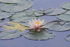 liljavatten Arkivfoto