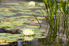 liljavatten Fotografering för Bildbyråer