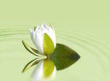 liljavatten Royaltyfri Foto