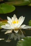 liljavattenwhite Royaltyfria Bilder