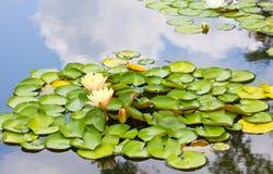 liljavattenyellow Fotografering för Bildbyråer