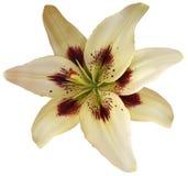 Liljavit-guling blomma som isoleras med den snabba banan, på en vit bakgrund härlig lilja för design closeup royaltyfria foton