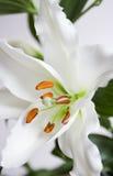 liljawhite Royaltyfri Fotografi