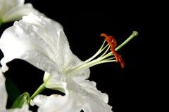 liljawhite Fotografering för Bildbyråer