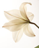 liljawhite Arkivfoton