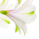 liljawhite Royaltyfria Bilder