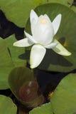 liljawhite royaltyfria foton