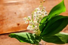 Liljekonvalj eller kunna-lilja fotografering för bildbyråer