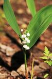 Liljekonvalj i vårskogen, Ryssland Fotografering för Bildbyråer