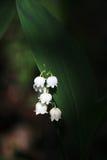 Liljekonvalj i vårskogen, Ryssland Arkivfoton