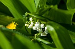 liljekonvalj kunna-lilja fotografering för bildbyråer