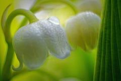 Liljekonvalj och droppe av vattenslutet upp med härlig mjuk grön bakgrund royaltyfri fotografi