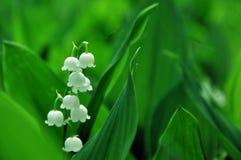 Liljekonvaljblommor på en bakgrund av gröna sidor royaltyfria bilder