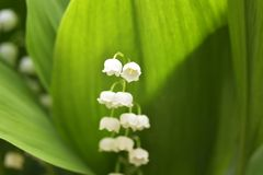 Liljekonvaljen - Convallaria Majalis Arkivfoton