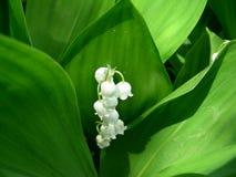 Liljekonvaljen gav pilen med blommor Royaltyfri Bild