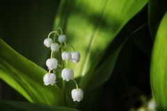 Liljekonvaljer blommar i skogen royaltyfria bilder
