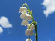 Liljekonvaljer i himlen Royaltyfri Fotografi