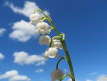 Liljekonvaljer i himlen Arkivbild