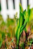 Liljekonvaljknopp Arkivfoton