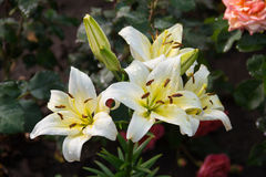 Liljor efter regnet i sommaren arbeta i trädgården Royaltyfria Bilder