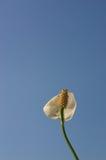 Liljor för en fred arkivfoton