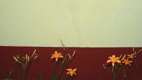 Liljor framme av ockran och den burgundy väggen Selektivt fokusera Arkivfoto