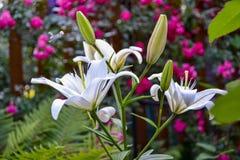 Liljor i hemträdgården Royaltyfria Bilder