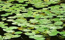 Liljor på vattnet Fotografering för Bildbyråer