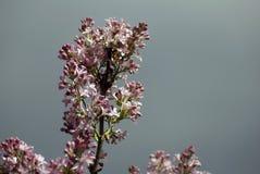 lillà Alberi di fioritura dei fiori rosa Fondo vago buio Immagine Stock Libera da Diritti