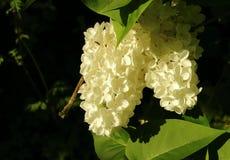 Lillà bianco Fotografie Stock
