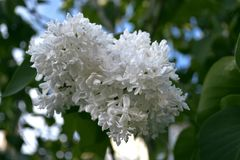Lillà bianco di fioritura nel giardino immagine stock libera da diritti