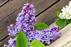 Lillà blu sbocciante Fotografia Stock