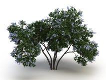 Lillà dell'albero immagine stock