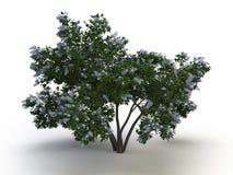 Lillà dell'albero fotografia stock